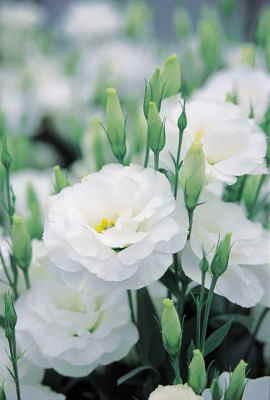 flores online baratas, flores baratas a domicilio, enviar flores a domicilio el día de la madre, enviar flores a Barcelona, enviar flores a Madrid, Arreglos Florales, enviar flores baratas a Bilbao, enviar flores baratas a Vitoria, enviar flores online Sevilla