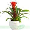 Planta Guzmania
